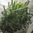 REYKJAVIK The fall of Iceland's economy made imports expensive, prompting an increase in domestic drug production. By Axel Kronholm Iceland's police force are constantly unraveling new marijuana farms. Recently they busted […]